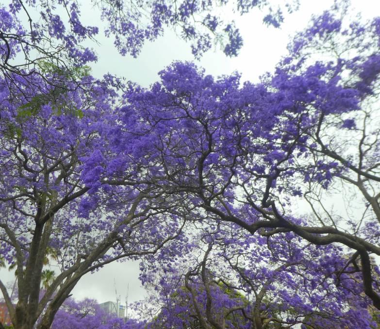 Summer S Splendid Purple Patch In Full Bloom The Land Nsw